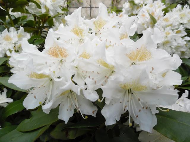 różanecznik  Cunningham's White