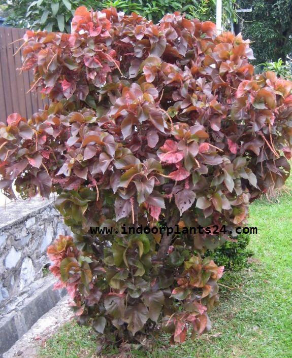 Acalypha Wilkesiana plants image