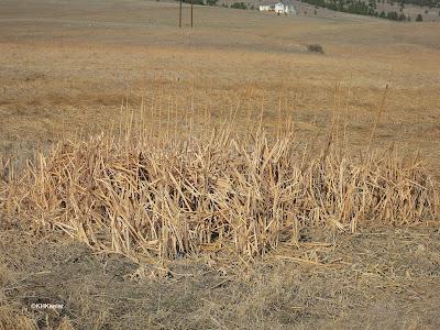 cattails in a field in winter