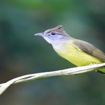 Cara Mengembalikan Penampilan Burung Cucak Jenggt Setelah Bertelur