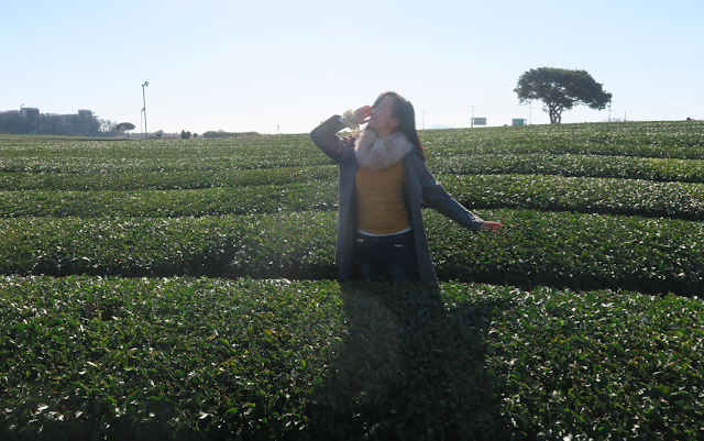 Jeju Tea plantation
