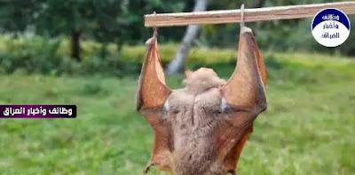 """أصدرت السلطات الصحية في جنوب أستراليا تحذيرا للسكان بتجنب الخفافيش، وذلك بعد اكتشاف فيروس قد ينتقل منها إلى البشر، الأمر الذي قد يؤدي إلى أمراض خطيرة.  وذكرت السلطات الصحية في جنوب أستراليا أن الفيروس الجديد يتسبب في مرض للإنسان يشبه """"مرض داء الكلب""""، الذي قد يتسبب بالوفاة بعد ظهور أعراض، من بينها التشنجات والشلل والهذيان.  وقالت الدكتورة لويز فلود، من فرع مكافحة الأمراض المعدية في وزارة الصحة والرفاهية في أستراليا، إنه تم تأكيد إصابتين بـ""""فيروس الخفافيش الأسترالية""""، وفق ما ذكرت صحيفة """"الصن"""" البريطانية، الجمعة.  وينتقل الفيروس من الخفافيش إلى البشر عندما يدخل لعاب الخفافيش المصاب إلى الجسم، عادة عن طريق لدغة أو خدش، ولكن أيضًا عن طريق دخول اللعاب في العين أو الأنف أو الفم.    ويتسبب المرض المروع في إصابة البشر بأمراض خطيرة، مما يؤدي إلى الشلل والهذيان والتشنجات والموت، بحسب لما ذكرته حكومة كوينزلاند في أستراليا.  وقالت الدكتورة فلود: """"المرض يشبه داء الكلب، ويمكن أن ينتقل إلى البشر إذا تعرضوا للعض أو الخدش من قبل الخفافيش المصابة، وإذا تأخر العلاج إلى ما بعد ظهور الأعراض، فإن الحالة تكون قاتلة على الدوام"""".  وتضيف """"في حين أن واحدا بالمئة فقط من الخفافيش تحمل هذا الفيروس القاتل، فإن الحالتين المكتشفتين رفعتا القلق بشأن ضرورة تجنب الخفافيش والتعامل معها من قبل مدربين ومختصين"""".  أخبار ذات صلة  وقد تم تسجيل ثلاث حالات فقط نتيجة الإصابة بهذا الفيروس منذ اكتشاف المرض لأول مرة في عام 1996، وجميعها أدت إلى وفاة المريض.  وفي العام الماضي، كانت هناك 9 حالات من البشر تعرضوا للخفافيش التي تتطلب العلاج.  ودعت الدكتورة ماري كار، من قسم الصناعات الصحية الأولية، أصحاب الحيوانات الأليفة على إبقاء حيواناتهم بعيدًا عن الخفافيش.  وقالت: """"إذا كنت تشك في أن حيوانك قد تعرض للعض أو الخدش من قبل الخفافيش، فيرجى الاتصال بالطبيب البيطري المحلي أو الخط الساخن لأمراض الحيوانات في حالات الطوارئ""""."""