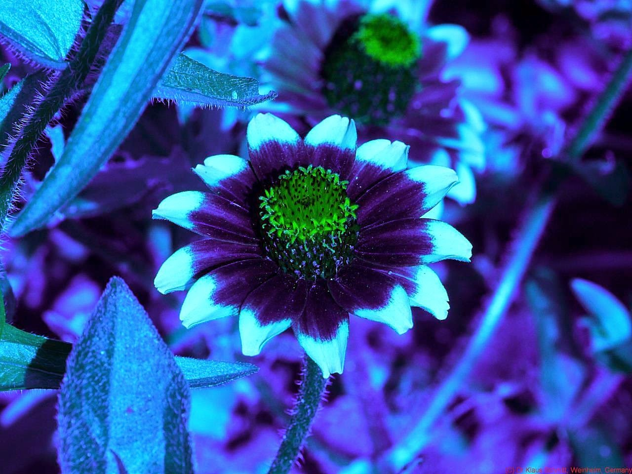 Flower in ultraviolet light uv vision