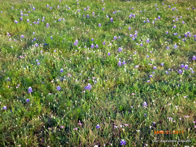 Our awesome travels texas bluebonnets and indian paint brush texas course here i spotted some texas blue bonnets right here no need to go for my drive yesterday not more than a couple of hundred yards from our site mightylinksfo