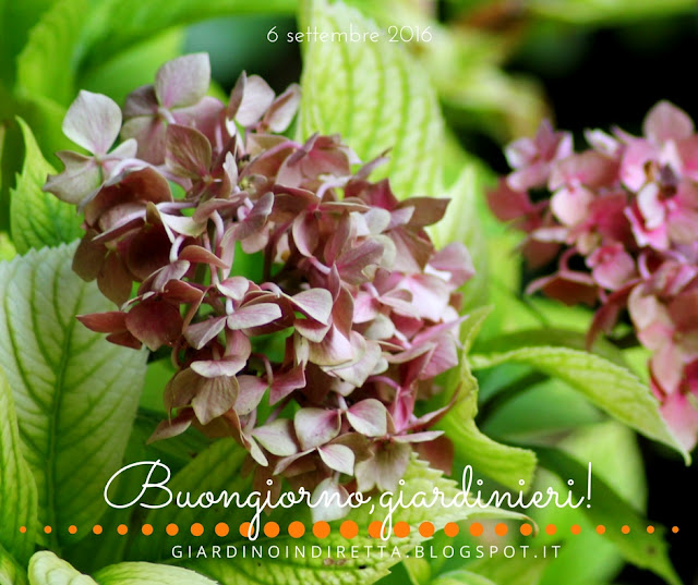 ortensia (hydrangea macrophylla) - il giardino dalla A alla Z -  i fiori della settimana - un giardino in diretta