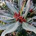 Kwiaty chińskiego drzewa truskawkowego!