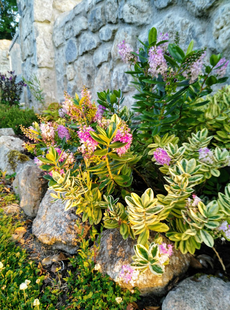 flowers by a stone wall, Moycullen