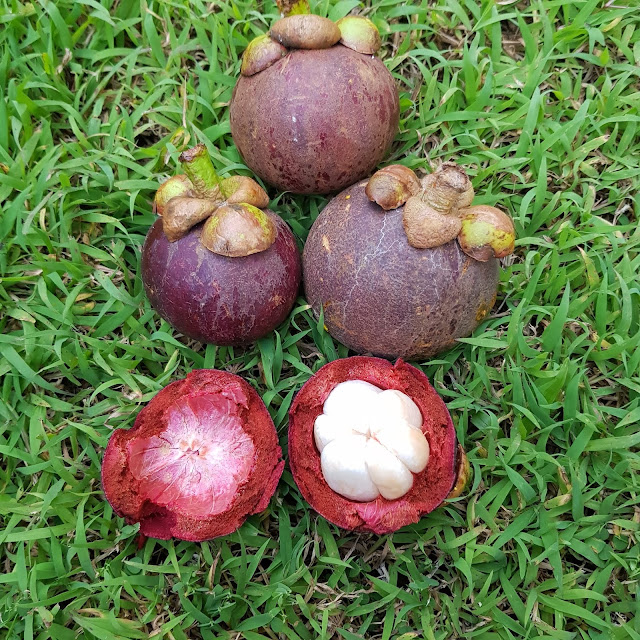 mangosteen juice, mangosteen in hindi, mangosteen side effects, mangosteen nutrition, mangosteen skin benefits, mangosteen capsule benefits, mangosteen benefits weight loss, mangosteen coffee benefits, mangosteen in india, mangosteen in tamil, how to take xanthone plus, bel patra fruit, bael leaf benefits, how to make mangosteen peel extract, xango juice reviews, mangosteen in bengali, mangosteen oil, mangosteen fruit taste, camu camu nutrition facts, mangosteen fruit in india, mangosteen fruit during pregnancy, mongoose fruit benefits in tamil, mangosteen studies, is mangosteen high in potassium, xanteen capsule, mangosteen dr axe, is mangosteen good for diabetes, mangosteen lupus, is mangosteen skin edible, mangosteen fruit is good for pregnancy, blog with cris, malaysia influencer, malaysia travel influencer