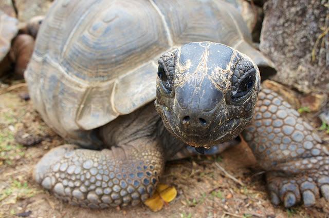 Riesenschildkröte im L'Union Estate Naturschutzpark La Digue