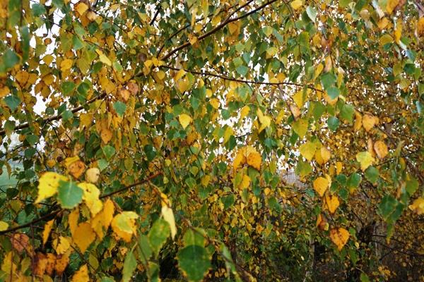 brzozowe liście jesienią
