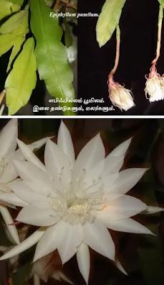 Epiphyllum pumilum flower