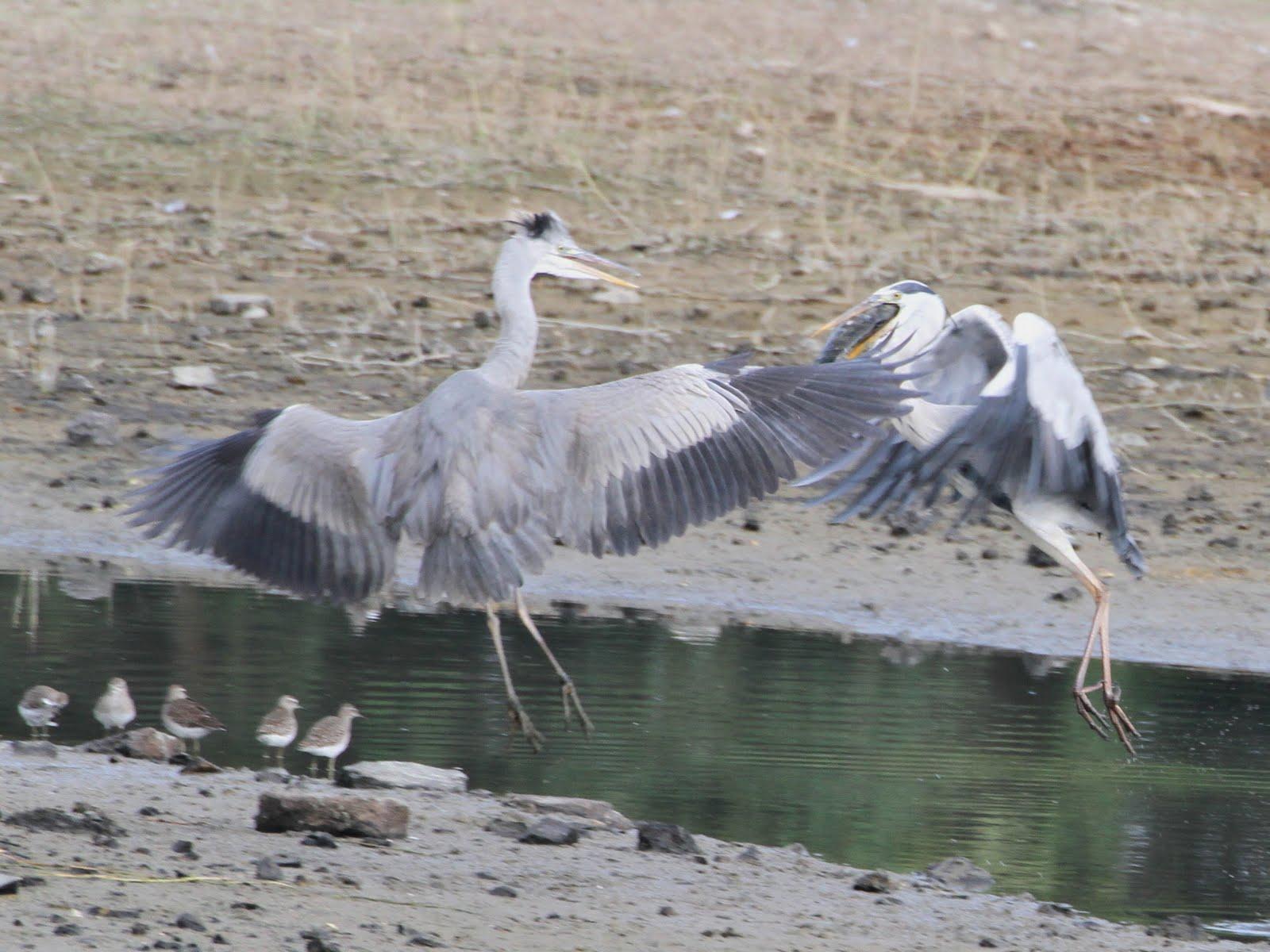 MY BIRDS WATCH LOG 新雀觀鳥誌: 63 Grey Heron 蒼鷺