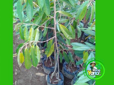 Sukari / Ibnue Compreng, Subang   Pembeli Bibit Durian Musangking kaki tiga sebanyak 4 bibit