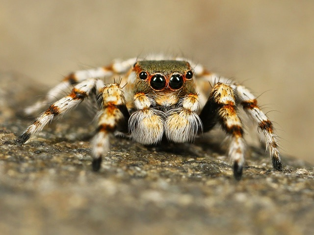Learn to tell the difference between spiders and insects by looking at their legs, eyes, body segments, extra appendages and how it eats.  #kellysclassroomonline