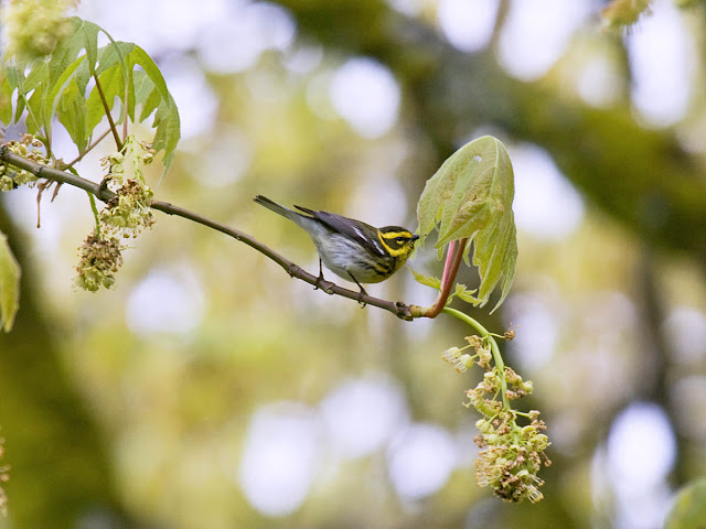 A Townsend's Warbler gleans insects in a big leaf maple tree