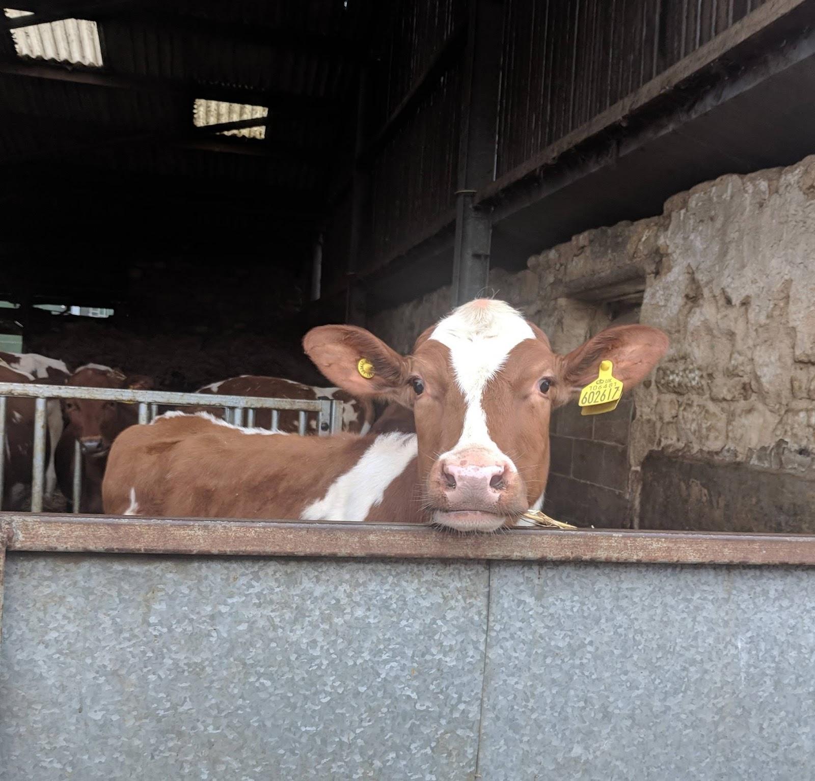 Morwick Dairy Ice Cream Parlour (near Amble)  - cows
