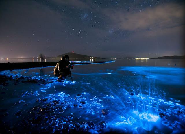 Bactéries bioluminescentes