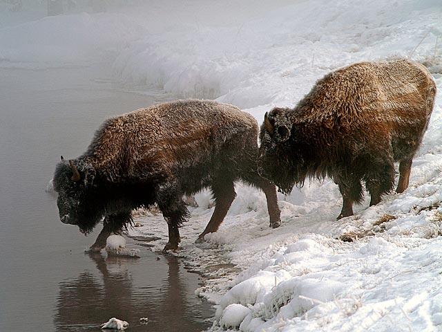 Cute Funny Animals Wallpapers Funny Buffalo Wallpaper Funny Animal