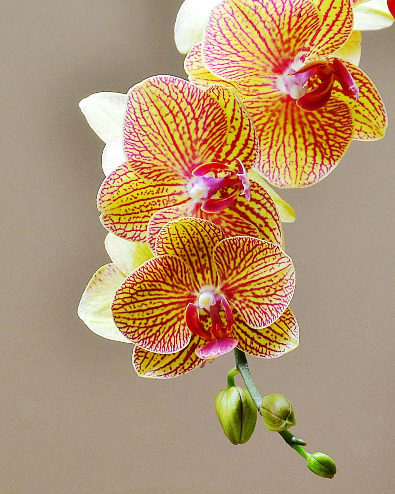 Orchids 01 by Jeanne Selep