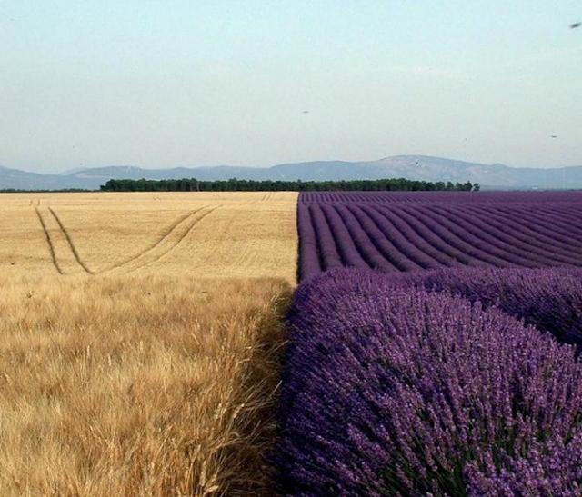 Buğday ve lavanta tarlaları