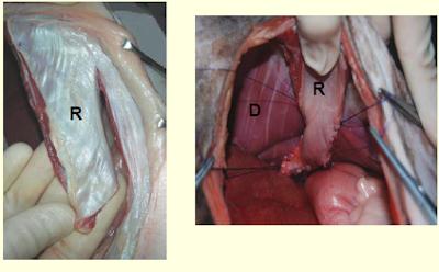 Teknik Operasi Hernia Diaphragmatica pada Hewan (Bedah Thoraks)