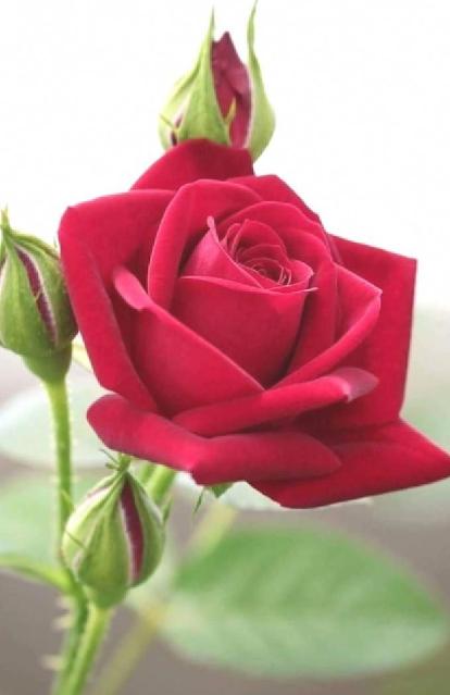 bunga mawar merah baru mekar
