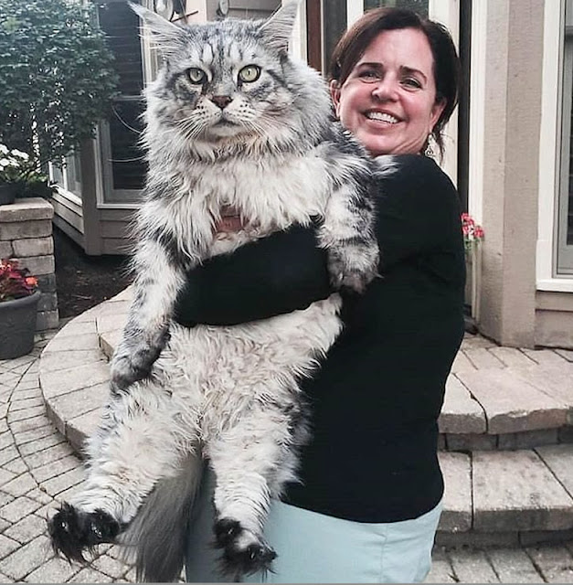 Huge silver tabby Maine Coon with jet black feet
