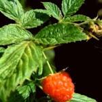 Rubus idaeus planta para el exterior