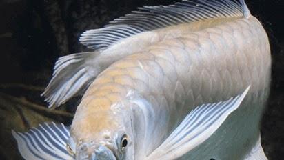 Ini Dia Harga Ikan Arwana Silver Dewasa Termurah 2020 Ikan Ikan Cantik