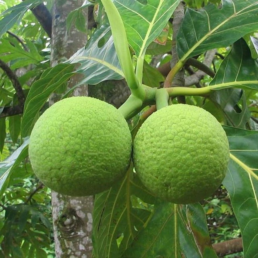 Bibit Bibit tanaman buah sukun super unggul BISA COD BISA COD Lhokseumawe