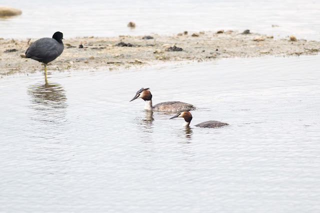 Male and Female Great Crested Grebe (I only know because they were mating)