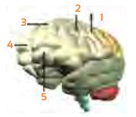 Gambar soal tentang otak yang berfungsi mengontrol kaki