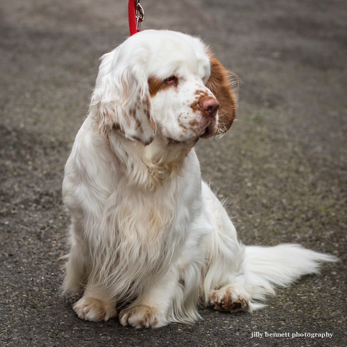 RIVIERA DOGS: Blu, the Clumber Spaniel