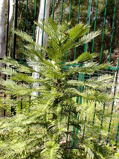 Young Wollemi Pine in a protective cage, Botanical Gardens, Canberra, Australia. Photo by Loire Valley Time Travel.