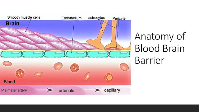 Components of Blood Brain Barrier