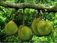 Durian Criwik Rembang