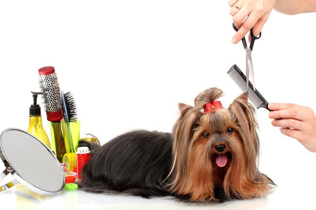 Przygotowanie psa do wystawy
