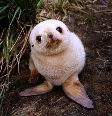 bébé phoque marrant