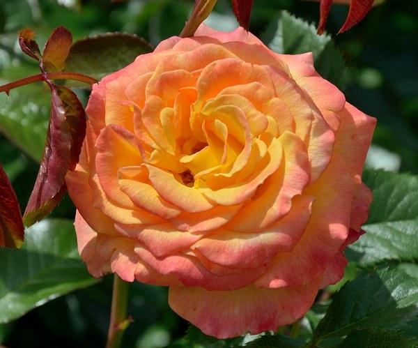 Gartenspass роза фото
