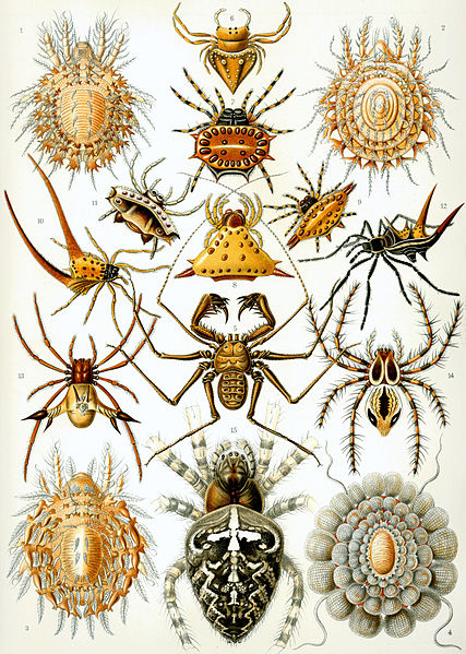 Arachnids: Haeckel Arachnida