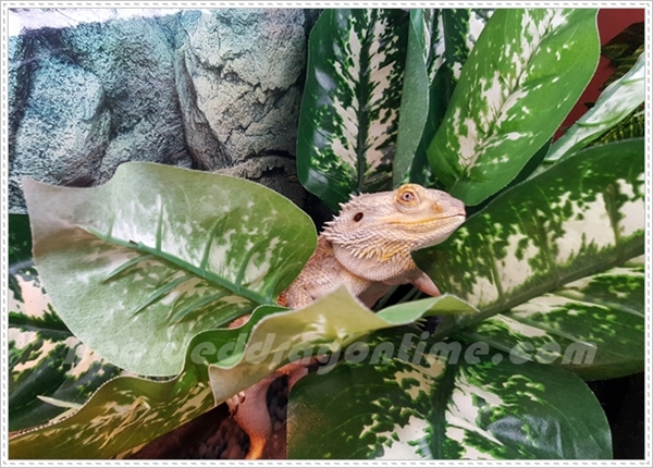bearded dragon and plants