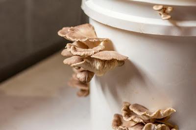 Mushroom spawn company in Pune