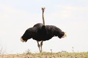 Information about Ostrich in Hindi