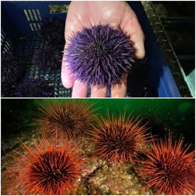 Sea Urchin: by Associated Press, KPBS (top), Hakai Magazine (bottom)