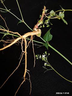 Benefits of Punarnava (Boerhavia Diffusa)