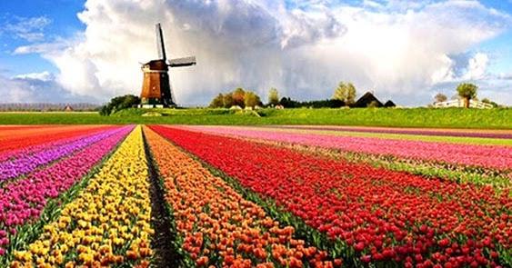 mewarnai gambar bunga tulip yang indah dan cantik