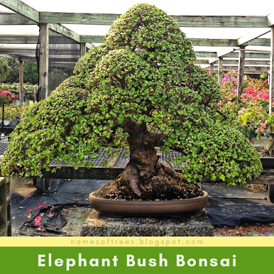 Elephant Bush Bonsai