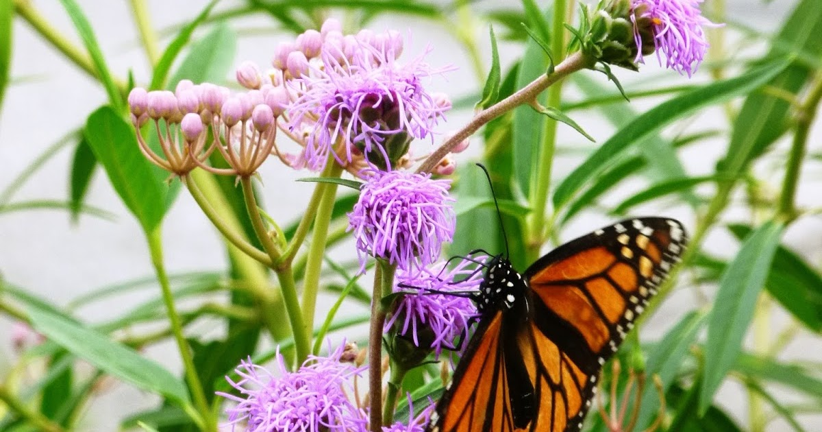 daily traipsings: Monarch Waystations: Creating Butterfly