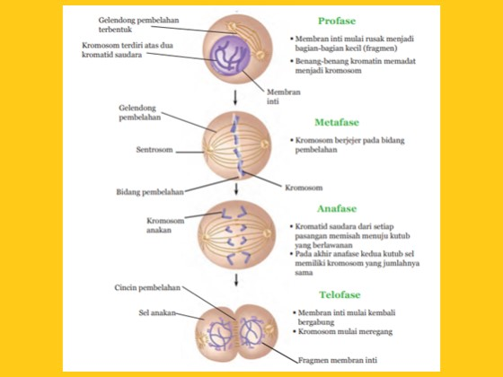 proses mitosi pada pembelahan sel