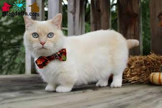 Kucing Munchkin atau kucing mini (mungil)